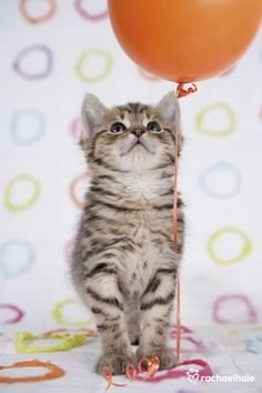 Mia (Domestic Shorthaired) - Up up and away... it's party day.