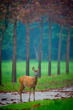 """Morning greeting"" by Annemette Kuhlmann on 500px - An autumn morning greeting from a deer in Denmark..."
