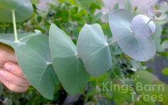 Eucalyptus perriniana - Spinning Gum from Kings Barn Trees
