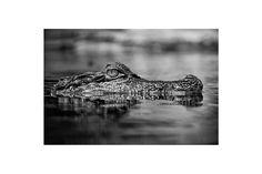 Crocodile via BAJANA Fine art SHOP. Click on the image to see more!