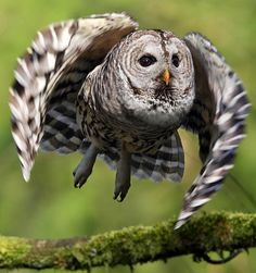 Barred Owl Launch | Flickr - Photo Sharing!