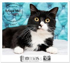 Ben at Orange County Animal Services | Shelter Cats | Orlando, FL Pet Portraits by Thomas Pitera Photography #adoptable #orlando