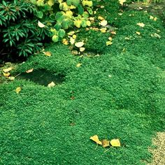 Helxine: planter et entretenir – Ooreka Plantation, Stepping Stones, Outdoor Decor, Gardening, Type, Home Decor, Gardens, Yard, Garden Landscaping