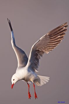 The Hartlaub's gull - Chroicocephulus hartaubii; is a small non migratory breeding resident endemic to the Atlantic Ocean coastline of South Africa. Beautiful Birds, Life Is Beautiful, Bird People, Red Bill, Broken Wings, Learn To Fly, Sea Birds, Ocean Beach, Fantasy Creatures