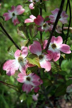 May in the Garden of Rose Hill Farm Pink Dogwood in Bloom Pink Dogwood, Dogwood Trees, Dogwood Flowers, Flowering Trees, Beautiful Flowers, Pink Garden, Spring Has Sprung, Hello Spring, Spring Time