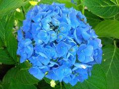 Hortensia: flores Azules - Foro de InfoJardín
