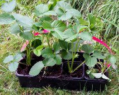 Unterwegs im Garten: Erdbeerbeet anlegen   Auch auf kleinstem Raum, z.B. auf dem Balkon, können Erdbeeren hervorragend gedeihen! Ihr pflanzt sie einfach in große Kästen oder Kübel. Hänge- oder Klettererdbeeren wachsen sogar in Hängeampeln oder Klettertöpfen.