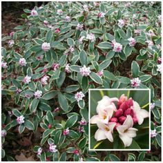 Winter Daphne (Daphne Odore)  is a shade loving plant	 Grows up to 150cm tall Likes partial to full shade Happiest in moist but well drained soil or well drained soil
