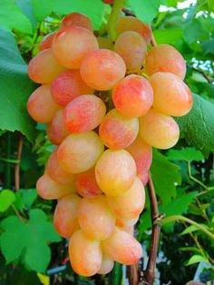 Grapes on vine Fruit Plants, Fruit Garden, Fruit Trees, Fresh Fruits And Vegetables, Fruit And Veg, Fruits Photos, Fruit Photography, Beautiful Fruits, Weird Food