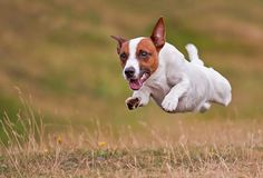 jack-russel-terrier-dog-in-mid-air