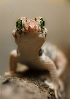 ˚Chinese Wonder Gecko by Gabriel Ozon