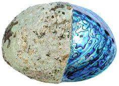 Haliotis iris, Paua shell, abalone (1)