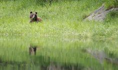 A Coastal  Grizzly Bear eating sedge grass on our UNBC Jet Boat Photography tour http://blogs.unbc.ca/unbcexptour/page/3/