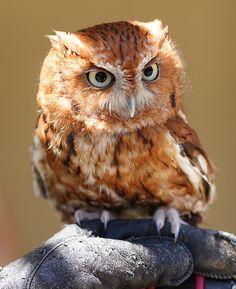 Otus - Eastern Screech Owl Pinned by www.myowlbarn.com