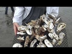 How Oysters May Help Reduce Nitrogen Pollution Indian River Lagoon, Exhibit, Oysters, Cambridge, Restoration, Earth, News, American, Water