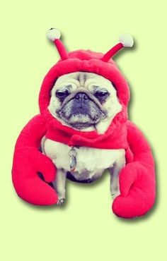 What could be better than this pug dressed in a lobster Halloween costume?