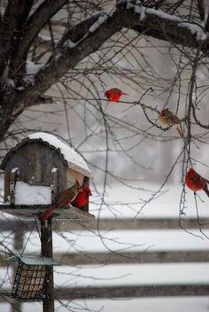 Cardinals on a Winter Day༺ ♠ ༻*ŦƶȠ*༺ ♠ ༻