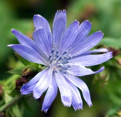 Wild Edible Plant: Chicory (Cichorium Intybus) is an excellent wild edible that is found throughout the United States. It is also used as a coffee filler and substitute.