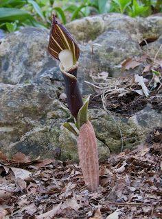 Ann Arbor Gardener: April 2011
