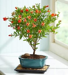 Pomegranate bonsai arrives planted in a traditional ceramic bonsai dish with a humidity tray. Papery orange springtime blooms that develop into tiny fruit that reddens in the fall $39.99