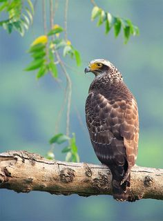 Crested Serpent Eagle, taken at Jushan, Taiwan