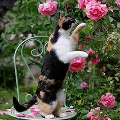 Calico Cat Stopping to Smell the Bright Pink Roses Tortoise As Pets, Animals And Pets, Cute Animals, Clumping Cat Litter, All About Cats, Cute Cats And Kittens, Beautiful Cats, Crazy Cats, Cat Art