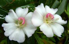 Blakea subconnata, Melastomataceae