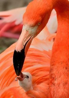 Warmed and well protected, the Flamingo chicks at Hellabrunn Zoo-Munich began… Foto Flamingo, Flamingo Art, Pink Flamingos, Flamingo Painting, Pretty Birds, Beautiful Birds, Animals Beautiful, Animals And Pets, Baby Animals