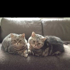 Waleria & Tup, British Shorthair