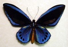 Rare Blue Birdwing Butterfly