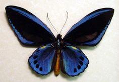 Rare Blue Birdwing Butterfly