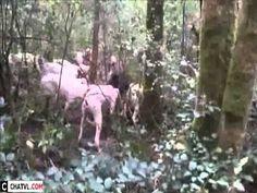 Bầy chó săn lợn rừng
