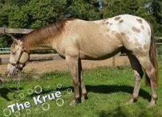 HEART ON ICE ❤️ Appaloosa Stallion Breedingseason amberchampagne www.heartonice.de