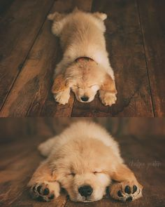 """8 Weeks Old. Goldpaws Chips Ahoy Matey """"BRIER"""". CKC Golden Retriever puppy.  Ruff life! Puppy pictures."""