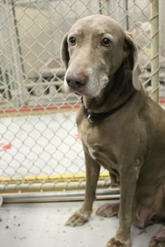 #OHIO #URGENT ~ Kennel # 38 is a Weimaraner available 12/18/13 & in need of a loving #adopter / #rescue at LORAIN COUNTY DOG KENNEL 226 Middle Ave  #Elyria OH 44035 Ph 440-326-5995
