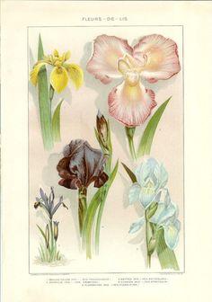 1903 Botany Print - Fleurs-de-lis - Vintage Antique Art Illustration Book Plate Natural Science Great for Framing 100 Years Old