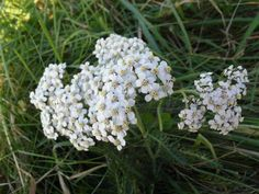 Yarrow and its Medicinal Benefits. A fascinating history of this ancient plant, its medicinal uses, where to find it and how and when to harvest it. http://www.permaculture.co.uk/articles/yarrow-and-its-medicinal-benefits