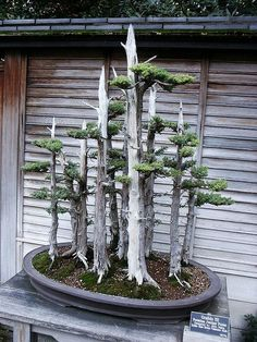 A Bonsai forest.  How cool is that?
