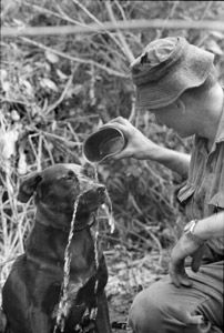 Australian forces Vietnam. Tracker dog Justin with his handler.