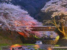 Beautiful Cherry Trees near Kyoto, Japan