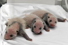 A Chinese zoo presented the world with these adorable triplet panda cubs on Tuesday. | These Adorable Panda Triplets Snuggling In Bed Together Is The Miracle You Need Today