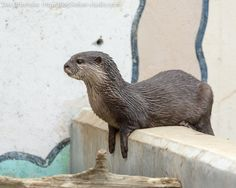 Otter Perches on a WallVia Das Otterhaus