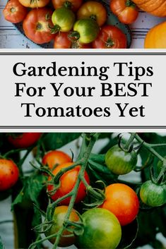 The best ten tips for growing tomatoes whether you are a gardening newbie or seasoned grower! Learn how to have a strong start to your tomato season. #GardeningTips