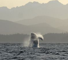Humpba whale sighting while kayaking with Spirit of the West Adventures!