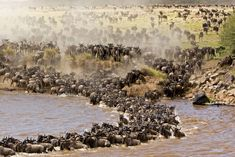 """Wildebeest: """"The Great Migration."""" Over 2 million of these animals migrate from The Serengeti National Park in Tanzania, to the greener pastures of The Masai Mara National Reserve in Kenya, during July through to October. Wildlife Safari, Wildlife Nature, Tour Eiffel, Manado, Chutes Victoria, Grand Canyon, The Great Migration, Tanzania Safari, Serengeti National Park"""