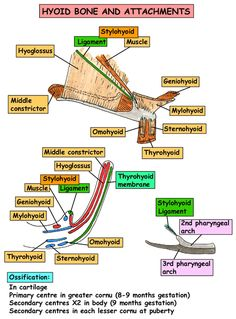 Instant Anatomy - Head and Neck - Areas/Organs - Hyoid bone and attachments