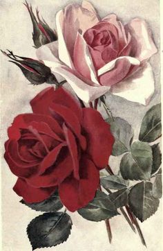 """""""I feel as if I had opened a book and found roses of yesterday sweet and fragrant, between its leaves. Montgomery, Anne of the Island Floral Illustrations, Botanical Illustration, Rose Reference, Rose Pictures, Hybrid Tea Roses, Vintage Drawing, Decoupage Vintage, Rose Art, Rose Design"""