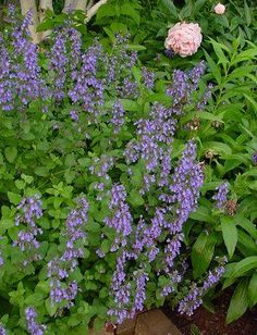 Nepeta x faassenii. - catmint walkers low should bloom from may to October.  I have a couple in the front bed that have survived the vole.  I need to expand the planting