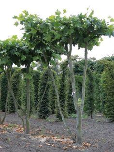 vormbomen_platanus-acerifolia-meerstammige-dakvorm