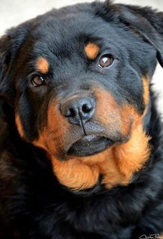 Beautiful Rottweile Photos Of Puppies Pictures Of Dog Breeds Cute